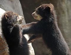 spectacled bear duisburg BB2A3204 (j.a.kok) Tags: beer bear brilbeer spectacledbear babybear bearbaby bearcub cub spectacledbearcub duisburg zoogdier dier animal mammal predator