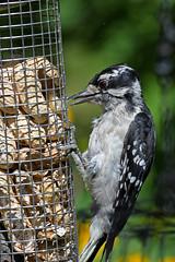 Downy Woodpecker (East Norriton) (stinkenroboter) Tags: downywoodpecker picoidespubescens eastnorriton bird peanut