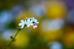 I Don't Forget (matt.kueh) Tags: flower plant blume forgetmenot vergissmeinnicht bokeh bokehlicious sonyilce7m2 depthoffield manualfocus tamronafsp90mmf28
