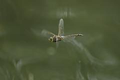 Anax ephippiger (Burmeister, 1839) flying (jrosvic) Tags: kenkox14pro3000 nikon300mmf4 nikond2xs entomology anisoptera odonata elhondo dragonfly libélula aeshnidae flying anaxephippiger macro