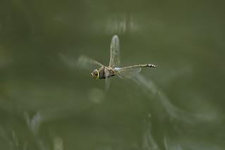 Anax ephippiger (Burmeister, 1839) flying