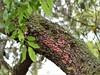 Red lichen (alansurfin) Tags: red lichen southernliveoak oak tree bark