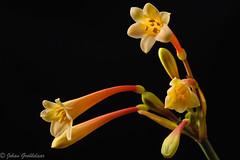 Yellow Ifafa lily-2 (Johan Grobbelaar) Tags: geel ifafalelie
