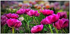tulips (india_snaps) Tags: flowerphotography nature tulips