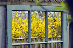 This Dedication (Paul B0udreau) Tags: nikkor50mm18 photoshop canada ontario paulboudreauphotography niagara d5100 nikon nikond5100 raw layer yellow reflection mirror fence forsythia