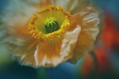 Islandmohn (VintageLensLover) Tags: mohn islandmohn poppies farben bunt lensbaby sweet50 bokelicious bokeh dof schärfentiefe schärfeverlauf