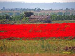 Campo de Amapolas   (1) (eb3alfmiguel) Tags: campos rojo amapolas