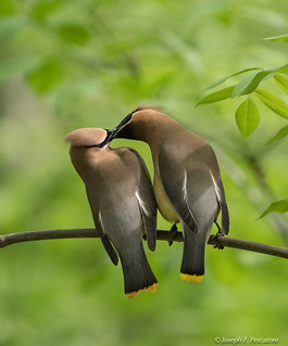 Is it Love?  #2 - Cedar Waxwings.  (EXPLORE May 10, 2018) New York, Central Park (View Large)