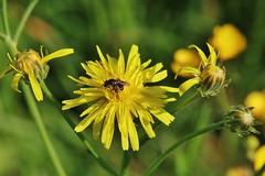Wild Flower (Hugo von Schreck) Tags: hugovonschreck bee biene wildflower wildblume macro makro insect insekt fantasticnature greatphotographers canoneos5dsr tamron28300mmf3563divcpzda010