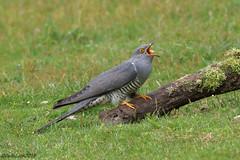 Cuckoo (Georgiegirl2015) Tags: cuckoo birds thursleycommon countryside canon dellalack ef300mm parasite migration branch avian sunny summer may2018 lichen surrey visitor