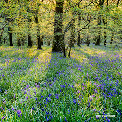 Bluebell Light (macdad1948) Tags: spring sunset woods meldon bluebells okehampton devon evening flowers nature