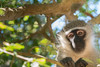 Vervet Monkey (Don Chisciotte89) Tags: vervet monkey africa nature face look sandforest sodwanabay sigma70200 nikond500