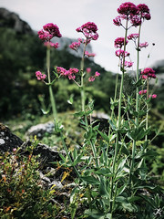 Sormiou Floral mai 2018 -  05 (akunamatata) Tags: sormiou floral balade mai 2018 parc des calanques park provence fleurs flowers sentier sciatique