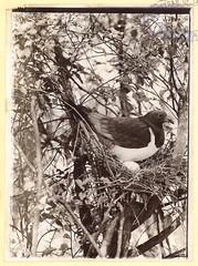 Native Pigeon with Egg, 1909 (Archives New Zealand) Tags: archivesnewzealand photography birds nativebirds copyrights fauna animals herbertguthriesmith guthriesmith hawkesbay tutira