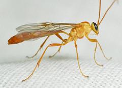 Ophion minutus (Jonas Lutz) Tags: wasp wasps parasite parasites ophioninae ichneumonidae ichneumon