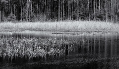 Across the lake (Tim Ravenscroft) Tags: lake grasses reflections water foliage acton massachusetts hasselblad hasselbladx1d x1d monochrome blackandwhite blackwhite