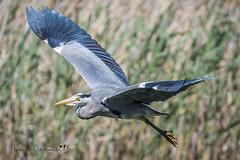 Fly By (Anthony de Schoolmeester) Tags: heron greyheron waterbirds bird birdinflight forestfarm nikon nikonafs20050056e nikond500 cardiff wales wildlife wildbird wildlifephotography nature naturephotography