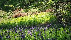 Recovery in the shade (ShinyPhotoScotland) Tags: circularpolariser pentaxk1 green trees shadow dappled light colour nature largo keilsden fife snapseed hdr bokeh closeup flowers flora bluebells