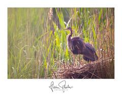 Purpurreiher (florianpluecker) Tags: purple heron purpurreiher reiher bird wildlife vogel natur nature animal badenwürttemberg sigma canon