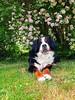 Balade printanière #dog #mydog #promenade #spring #bouvierbernois #mountainbernese #bernois ## #bernese (cordier38) Tags: dog mydog promenade spring bouvierbernois mountainbernese bernois bernese