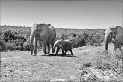 Muddy Elephants (zenseas) Tags: africanelephant wild workingholiday southafrica workingvacation elephant addo elephants addoelephantnationalpark africa vacation africanbushelephant holiday loxodontaafricana bw monochrome blackandwhite mud muddy young