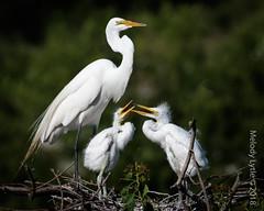 Great Egret (karenmelody) Tags: animal animals ardeaalba ardeidae bird birds egret egrets greategret pelecaniformes smithoaksrookery texas usa vertebrate vertebrates easttexas