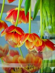 Reflections:  Fading, drooping tulips on a glass table (peggyhr) Tags: peggyhr tulips reflections glasstabletop orange yellow black green closeup dsc01351a vancouver bc canada carolinasfarmfriends thegalaxy thegalaxystars thegalaxylevel2 thegalaxystarshalloffame frameit~level01~ level1peaceawards infinitexposurel1