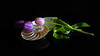 Tulips and Shell 2 (Smiffy'37) Tags: tulips flowers shell blackbackground stilllife colour drama olympusomde