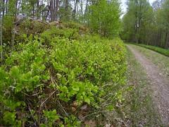 berries on the way (larsniel) Tags: sweden örnalt gopro spring blueberries forrest green stones trees growing berries