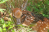 new life (hennessy.barb) Tags: fawn deer whitetaileddeer odocoileusvirginianus deerfawn whitetaileddeerfawn baby newborn spotted fragile delicate young spring barbhennessy
