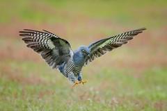 Cuckoo (mikedoylepics) Tags: cuckoo british britishwildlife birds bird animals d500 nikon nature surrey thursleycommon thursley