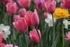 DSC_5391a (Fransois) Tags: flowers tulipes festivaldestulipes tulipsfestival ottawa ontario printemps spring joie joy bokeh paisible peaceful