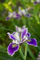 Spring Iris (s.d.sea) Tags: garden spring klahanie issaquah washington washingtonstate pnw pacificnorthwest pentax k5iis grow plant plants floral flowers flower bloom outdoors nature colorful iris purple macro bokeh