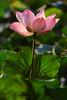 8H2_17360005 (kofatan (SS Tan) Tan Seow Shee) Tags: lotus payaindahwetlans dengkil selangor kofatan 荷花 莲花