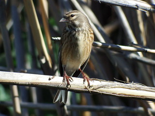Pintarroxo (Carduelis cannabina)