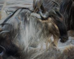 Wildebeest Splash (Markp33) Tags: