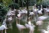 flamingo lake ballet (D-j-L) Tags: hongkong kowloon hk kowloonpark lake flamingo flamingos bird birds water trees longexposure motionblur motion movement canon g7x g7xmarkii