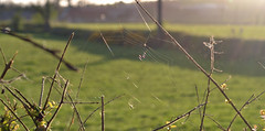 a web in the hedge (conall..) Tags: silk web spider webwednesday webnesday refraction colour scatter light wavelength dependent bands backlit backlight intothelight