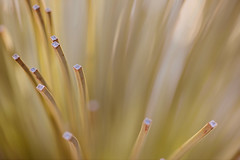Foliage of Surprise (setoboonhong) Tags: nature outdoor grass xanthorrhoea australian flowering plant leaves cut ends foliage green close up bokeh blur depth field melbourne international flower garden show carltongardens trees