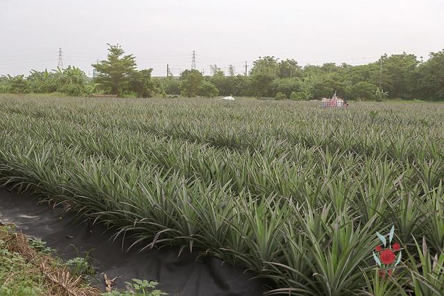鳳梨、竹筍通通吃酵素長大,無農藥耕種 三竹居士 (5)