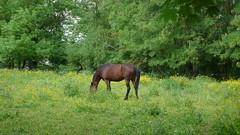 Un Dimanche à Oissel sur Seine - Chevaux (jeanlouisallix) Tags: rouen oissel seine maritime haute normandie france paysage nature panorama lancape rivière river cours deau eau fleuve berge animaux chevaux paturage