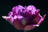 In the Sun (haberlea) Tags: garden mygarde nature flower oneflower purple tulip tulipbluespectacle