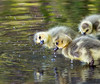 bath time (marianna_a.) Tags: canadageese goslings yellow fuzzy chicks young cute precious golden downy swimming waater water lake spring canada mariannaarmata