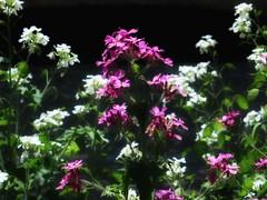 Depth with Purple and White (Robert Cowlishaw (Mertonian)) Tags: flowergarden green white purple parasophia depth spring wonder awe ineffable beauty beautiful canonpowershotg1xmarkiii markiii g1x powershot canon robertcowlishaw mertonian