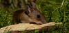 DSC_7993 (gupta.steve) Tags: gelbhalsmaus maus nagetier säugetier tier wildlife animal makro tamron nikon natur nager trinken süs niedlich