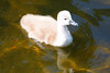 BABY SWAN (GA High Quality Photography) Tags: animal nature beauty beautiful love happy cute summer art fun amazing stunning photography wildlife new popular domesticanimal
