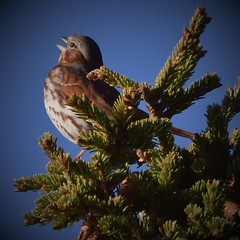 Can Ya Hear Me? (Insearchoflight) Tags: foxsparrow singingforitsmate waynenorman insearchoflight wildlife birds naturephotography morninglightonasong treewithcones vividstrikingtop anewartandphotogallery excellentdigitalartscenepro goal04 goal03 goal02 goal01 photographyforrecreationlevel1 photographyforrecreationlevel2 photography for recreation level 3 frameitlevel1 frameitlevel2 thelooklevel1 thelooklevel2 alittlebeauty coth coth5 photozonelevel1