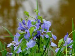 Frohe Pfingsten*Happy Pentecost (BrigitteE1) Tags: rhododendronparkbremen blumen flowers grün green rhododendronpark blau bleu iris schwertlilie blume flower winde
