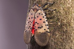 Lanternflies Eat Everything in Sight. The U.S. Is Looking Delicious. (NewsPie) Tags: lanternflies eat everything sight the us is looking delicious invasive insects turned up pennsylvania 2014 now state has placed 3 000 square miles under quarantine scientists worry pest will spread species may 21 2018 0600am by zach montague from nyt science httpsnytims2gcebv9via newspie