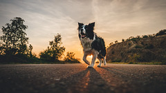 Time has come (romanhrbek) Tags: sony alpha dog sunset sigma a6500 16mm 14 road bordercollie atmosphere colours trees sky hady brno face smile time has come silhouette city nature spring afternoon backlight best friend shadow